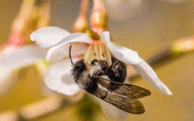Danske navne på alle arter af vilde bier
