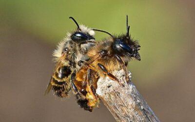 Bi-hoteller og flere vilde blomster kan både hjælpe vilde bier og landbruget