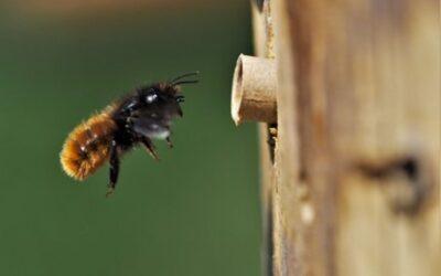 """Hvilke arter af vilde bier ruger i dit """"Rækkehus""""?"""
