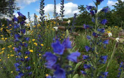 Frø til vilde blomster i haven